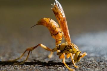 C63F6E Polistes olivaceus : paper wasp showing impressive sting